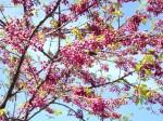 bunga sakura di Alisan tahun 2009