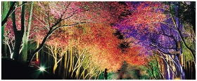 festival bunga sakura malam hari Pic kuambil dari internet