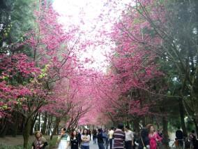 sepanjang jalan adalah pohon bunga sakura