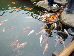 kolam dengan ikan berwarna-warni, disekitarnya pohon sakura