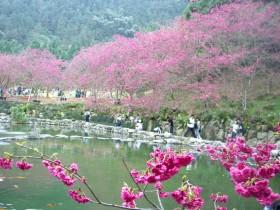bunga-bunga sakura bermekaran