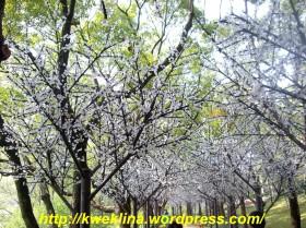 pohon bunga sakura dari lampu-lampu yang kecil